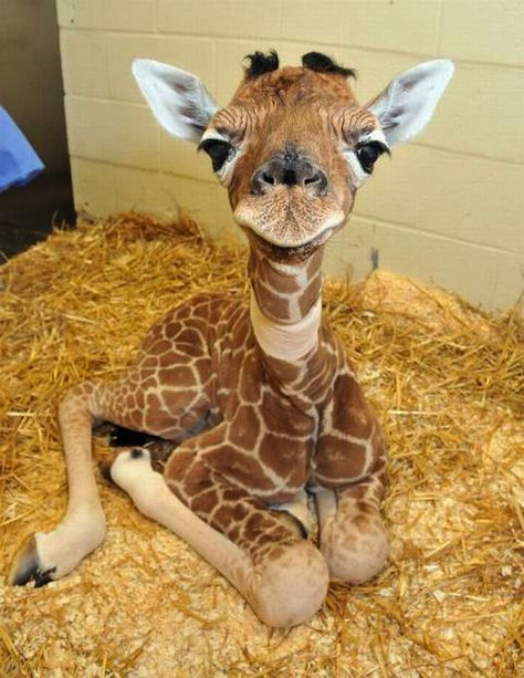 Adorable Baby Giraffe How Adorable Is He? Adorable Baby Giraffe How Adorable Is He? Support The Page And Add Us Baby Animals Super Cute, Cute Little Animals, Cute Funny Animals, Cute Pets, Baby Animals Pictures, Cute Animal Photos, Giraffe Pictures, Cute Pictures, Animals Images
