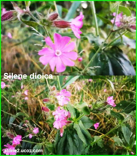 نبات السيلين الاحمر Silene Dioica النبات سميت إلى أسماء شخصيات النبات معلومات نباتية وسمكية معلوماتية Plants