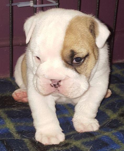 1 Quality Kc Reg Home Reared English Bulldog Boy Boys Puppies