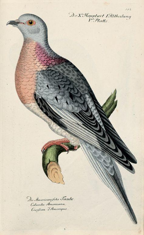 Dove / Taube, Johann Leonhard Frisch, Vorstellung der Vögel in Deutschland und beyläufig auch einiger Fremden; nach ihren Eigenschaften beschrieben. 1817. Berlin