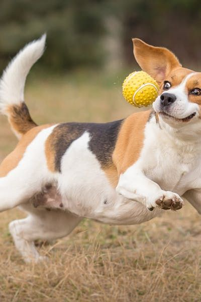 How To Train Your Beagle Dog To Fetch Beagle Dog Beagle Puppy Dogs