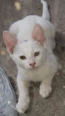 Pictures Of Astro A Turkish Van For Adoption In Santa Fe Tx Who