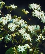 Seven-Son Flower (Heptacodium miconioides) - Monrovia - Double click on the picture for more information