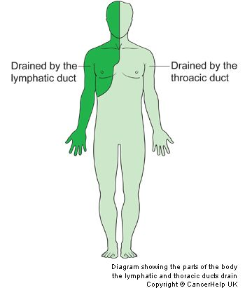 Thoracic Duct Left Lymphatic Duct Innerbody Cancer Pinterest