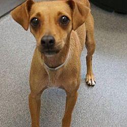 Dallas Tx Chihuahua Meet Nami A Dog For Adoption Dog