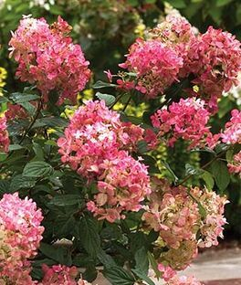 Fire Light Is A Showstopping Dwarf Hydrangea With Flowers That