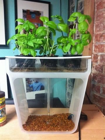 A self-cleaning hydroponic fish tank grows organic herbs and microgreens. WATER GARDEN aquaponic fish tank ecosystem is the perfect gardening gift!