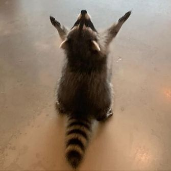 Cute Raccoon, Racoon, Cute Little Animals, Cute Funny Animals, Love Pet, Reaction Pictures, Animal Memes, Animals And Pets, Strange Animals