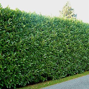 American Pillar Natural Privacy Fences Privacy Plants Privacy Landscaping