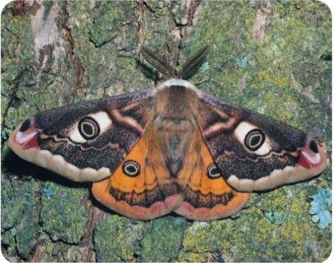 Pin Von Zsuzsanna Schenk Auf Schmetterlinge Motten Tattoo Nachtfalter Und Kafer Tattoo