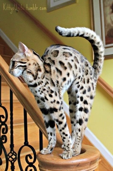 Savannah Cat...this breed is huge, has the temperament of a dog, and has gorgeous markings. Too bad they are over 2k! Lovely cats. <3