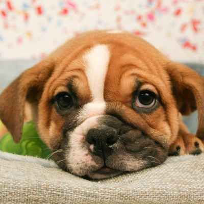 Miniature Bulldog Puppies Available In Phoenix Tucson Az