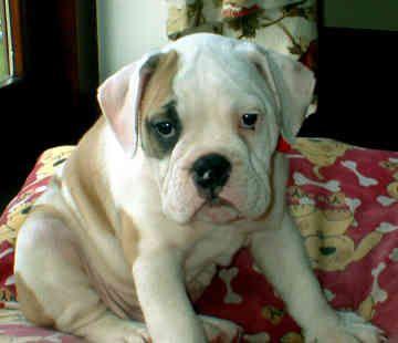 Victorian Bulldogs, looks like American Bulldog, cute!