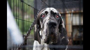 84 Great Danes Rescued N H Puppy Mill Busted Service Dog Project