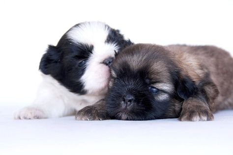 Pug & Shih Tzu Pug Zu