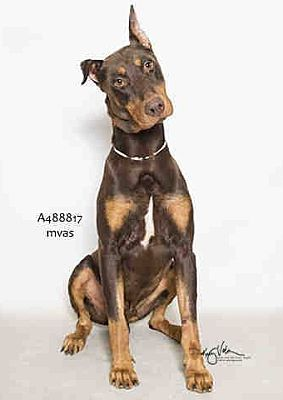 Seattle Wa Doberman Pinscher Meet Seamus A Dog For Adoption