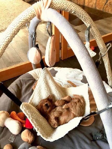 Schaukel Welpen Havaneser Welpen Kleine Hunde