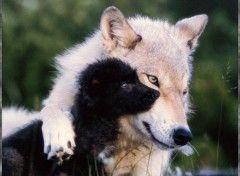 Telechargement Gratuit De L Image Fonds D Ecran Animaux Loups Wallpaper N 38967 Animaux Beaux Animaux Chien Renard