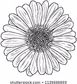 Daisy In Line Art Style Isolated Daisy Hand Drawn Botanical