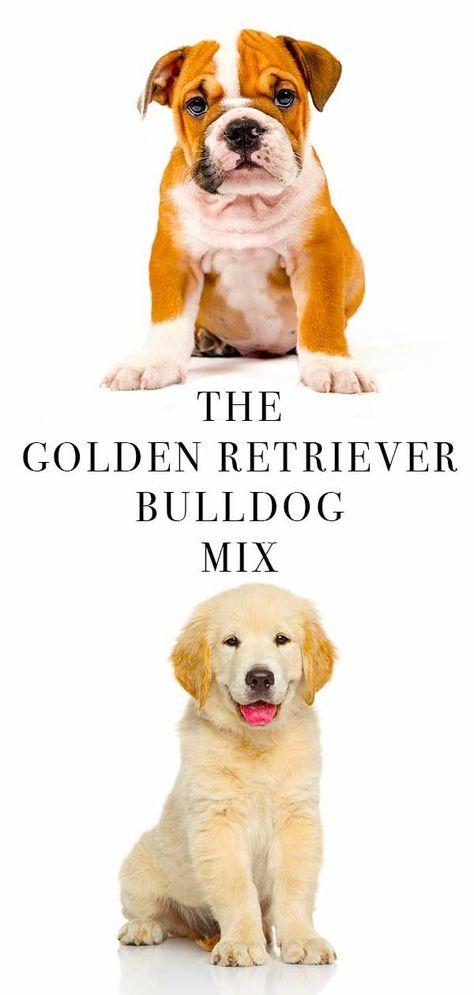 Golden Retriever Bulldog Mix Goldenretriever With Images