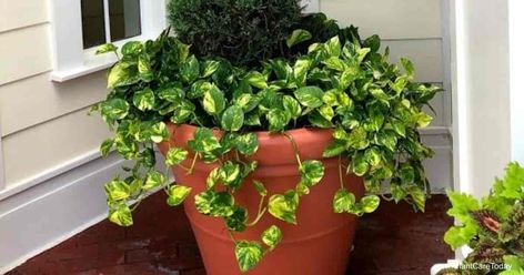 Is Golden Pothos Toxic to Cats?