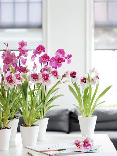 Le Miltonia Orchidee Fleur Orchidee Et Petite Fleur