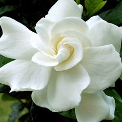 Learn How To Grow And Care For Your Gardenia Flower Meanings
