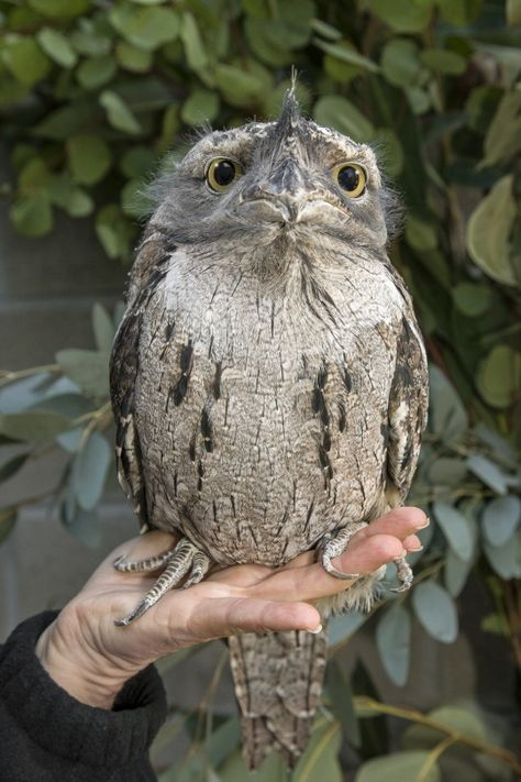 Tawny Frog-mouth