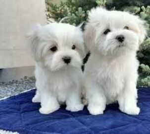 Dogs Puppies For Sale In Uk Loot Teacup Puppies Pets4homes 7 Pra