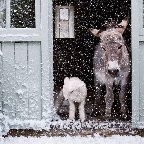Esel und Schaf im Schnee
