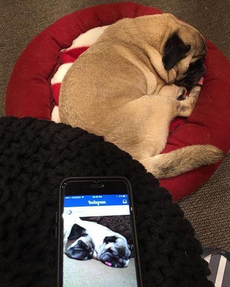 Pug Pugs Coffeeboy Coffee Sleep Snore Pugsofinstagram