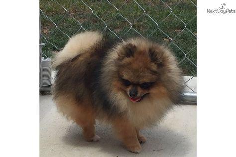 Mad Max Pomeranian Puppy For Sale Near Dallas Fort Worth Texas