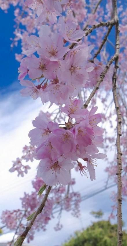 Trendy Nature Wallpaper Iphone Cherry Blossoms Wallpapers 60 Ideas Cherry Blossom Wallpaper Cherry Blossom Images Blossom Trees