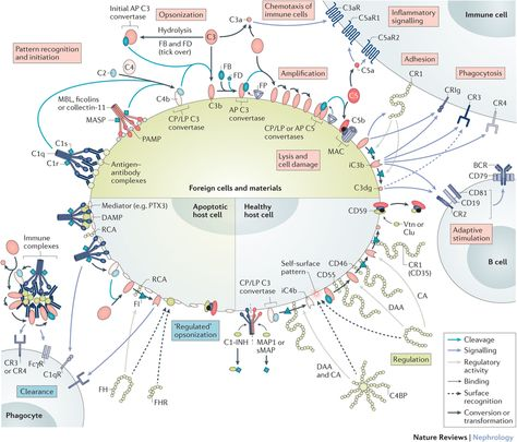 Mechanisms of differential complement activation and regulation under physiological conditions.