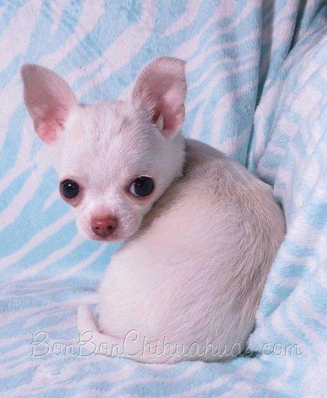 Bonbon Chihuahua Chihuahua Chihuahua Chiot Et Photo De Chiot