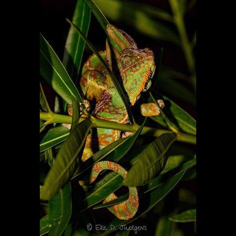 It's World Lizard Day! I figured a veiled chamel+#animal #animals #chameleon #conservation #day #everglades #exotic #figured #florida #lizard #nikon #nikonnofilter #nikonusa #photography #reptilesofinstagram #southflorida #veiled #veiledchameleon #wild #wildlife #wildlifeconservation #wildlifephotography #world #worldlizardday2018