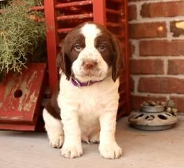 Poppy English Springer Spaniel Puppy For Sale In East Palestine Oh Lancas Spaniel Puppies For Sale Springer Spaniel Puppies English Springer Spaniel Puppy
