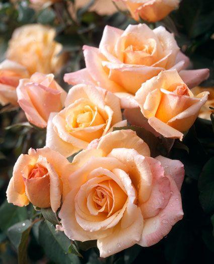 [JP: Tahitian Sunset™(Sun Goddess) - Apricot Yellowish Blushing Pink  Hybrid Tea Roses
