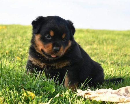 Litter Of 4 Rottweiler Puppies For Sale In Quarryville Pa Adn