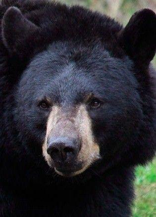 Black Bear Facts - Animal Facts Encyclopedia