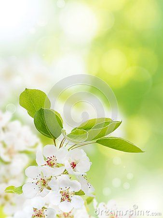 Apple Tree White Flowers On The Spring Blurred Garden Vertical Background Apple Tree Flowers Apple Tree Floral Background