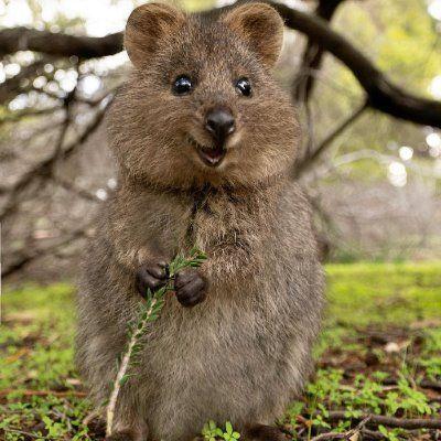 Love Animals On Twitter In 2021 Quokka Animal Quokka Animals