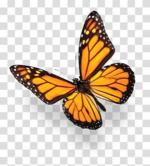 Monarch Butterfly Monarch Butterfly Blue Purple Butterflies Transparent Background Png Cl Monarch Butterfly Common Blue Butterfly Butterfly Black And White