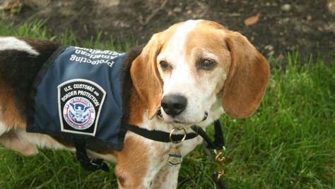 Meet The Beagle Brigade Protecting American Ag One Sniff At A