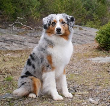This Is An Australian Shepherd These Dogs Mostly Contain Four