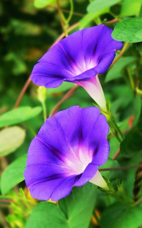 Morning Glory 朝顔 Flower Aesthetic Beautiful Flowers Beautiful Pink Flowers