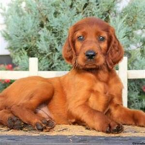 Irish Setter Puppies For Sale In De Md Ny Nj Philly Dc And Irish Setter Puppy Setter Puppies Irish Setter