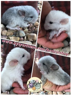 Animals For Sale Pets For Sale Chinchilla Pet Animals