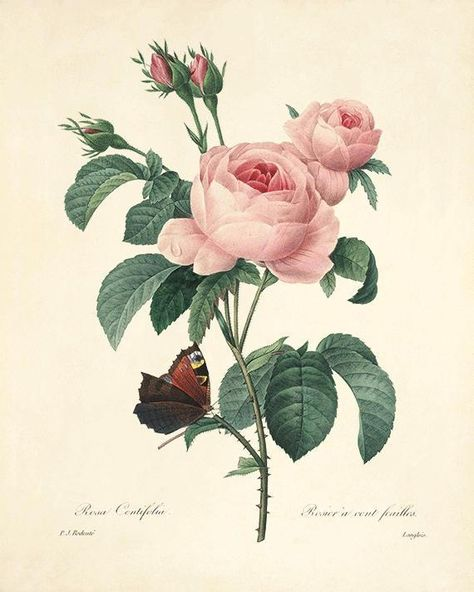 Provence Rose, Rosa Centifolia, By Pierre-Joseph Redout, From His Selection Of The Most Beautiful Flowers, 1833