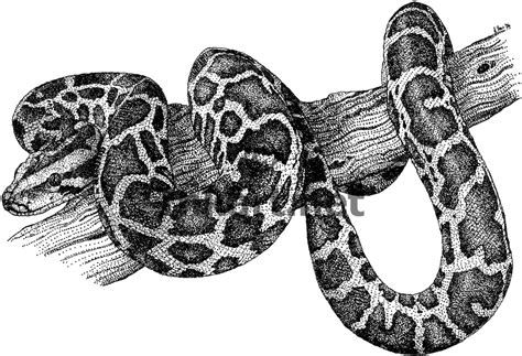 Real Drawings Of Reptiles Snake